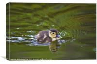 Not so ugly duckling, Canvas Print