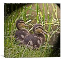 Two Little Ducklings, Canvas Print