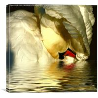 Swan Reflections, Canvas Print