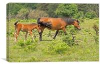 New Forest Pony and Foal, Canvas Print