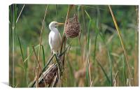 Cattle Egret, Canvas Print