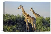 Giraffes and Oxpeckers , Canvas Print