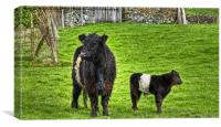 Belted Galloway Cow And Calf, Canvas Print
