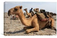 Camel Waiting Patiently , Canvas Print