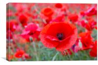 Poppy - One Among Many, Canvas Print