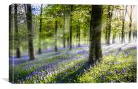 Morning Bluebells., Canvas Print