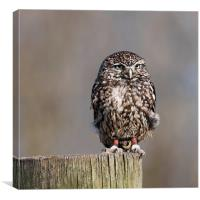 The Burrowing Owl, Canvas Print