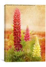 Lupins, Canvas Print