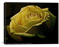 Rose romantic evening, Canvas Print