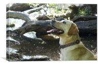 Labrador dog in the woods, Canvas Print