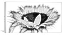 Sun Flower in Black and White, Canvas Print