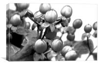 Black and White Photograph of Red Hypericum Berri, Canvas Print