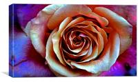 Close up of a Red and Yellow Rose, Canvas Print