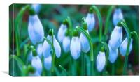 Snowdrops Spring is round the corner              , Canvas Print