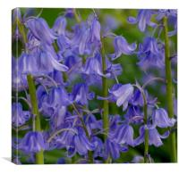 Common Bluebells                              , Canvas Print