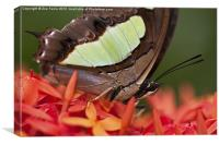 Butterfly on an Ixora, Canvas Print