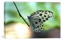 The Paper Kite Butterfly, Canvas Print