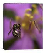 Yellow-faced Bee, Canvas Print