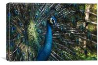 Male Peacock, Canvas Print
