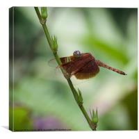 Macro photograph of a Dragonfly, Canvas Print