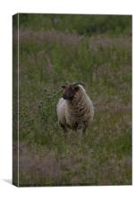 Horned sheep in pasture, Canvas Print
