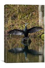 Cormorant stretching its wings, Canvas Print