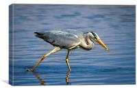 Snack time for Grey Heron, Canvas Print