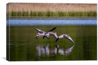 Greylags in flight, Canvas Print
