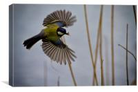 Great Tit with spider in its beak, Canvas Print