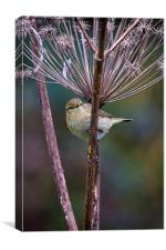 Young Willow Warbler, Canvas Print