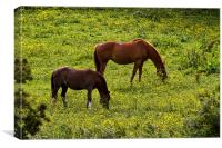 Horses grazing in a buttercup meadow, Canvas Print