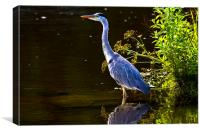 Grey Heron enjoying the sunshine, Canvas Print