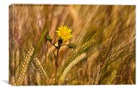 Dandelion and barley, Canvas Print
