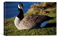 Canada Goose with a grassy beak, Canvas Print