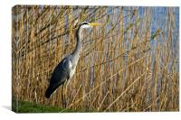 Grey Heron in the reeds, Canvas Print
