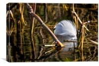 Discarded Swan feather, Canvas Print