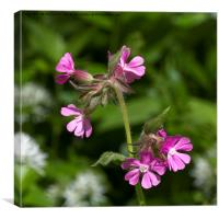 Square cropped Red Campion, Canvas Print