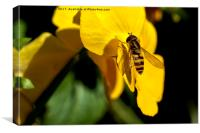 Hoverfly on yellow Pansy, Canvas Print