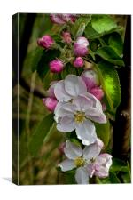 Apple blossom time , Canvas Print