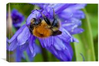 Bumble Bee on Bluebells, Canvas Print