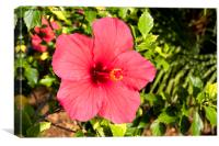 Hibiscus flower in sunshine, Canvas Print
