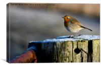 Robin in winter sunshine (2), Canvas Print