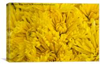 Frame full of yellow Chrysanthemums, Canvas Print