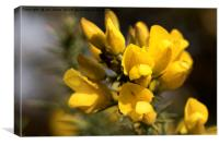 Raindrop on Gorse Flowers., Canvas Print