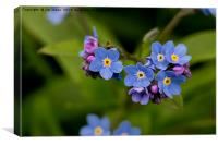 Forget-me-not in Springtime, Canvas Print