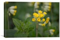 Springtime wildflowers-Cowslips, Canvas Print