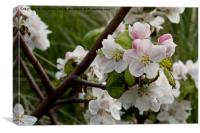 Apple Blossom time, Canvas Print