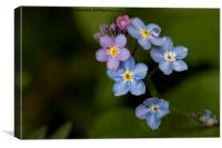 English Wild Flowers - Forget-me-not (2), Canvas Print