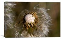 Dandelion seeds and their parachutes, Canvas Print