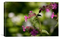 English Wild Flowers - Red Campion (2), Canvas Print